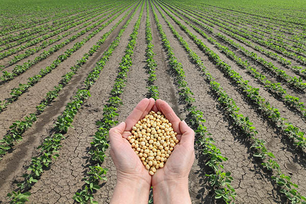 Human hands holding soybean with soy plant field in background, agricultural products